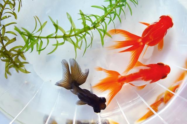 プロフィール写真1・🐠|奈良 ガールズバー・金魚